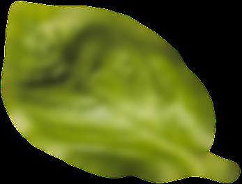 feuille-basilic02