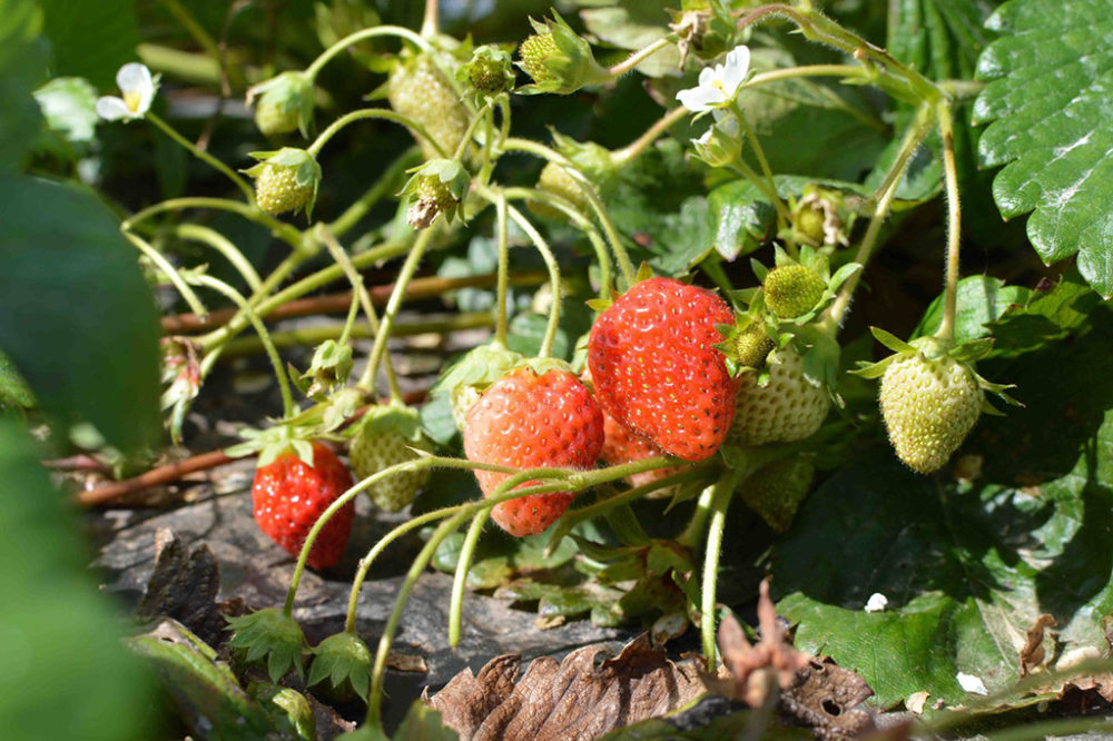 fraises bio loire Atlantique