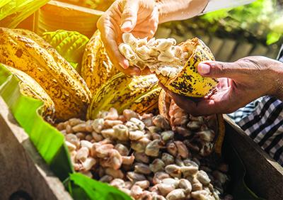 Graines de cacao récoltées