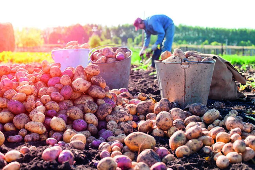 Pommes de terre dans un champ