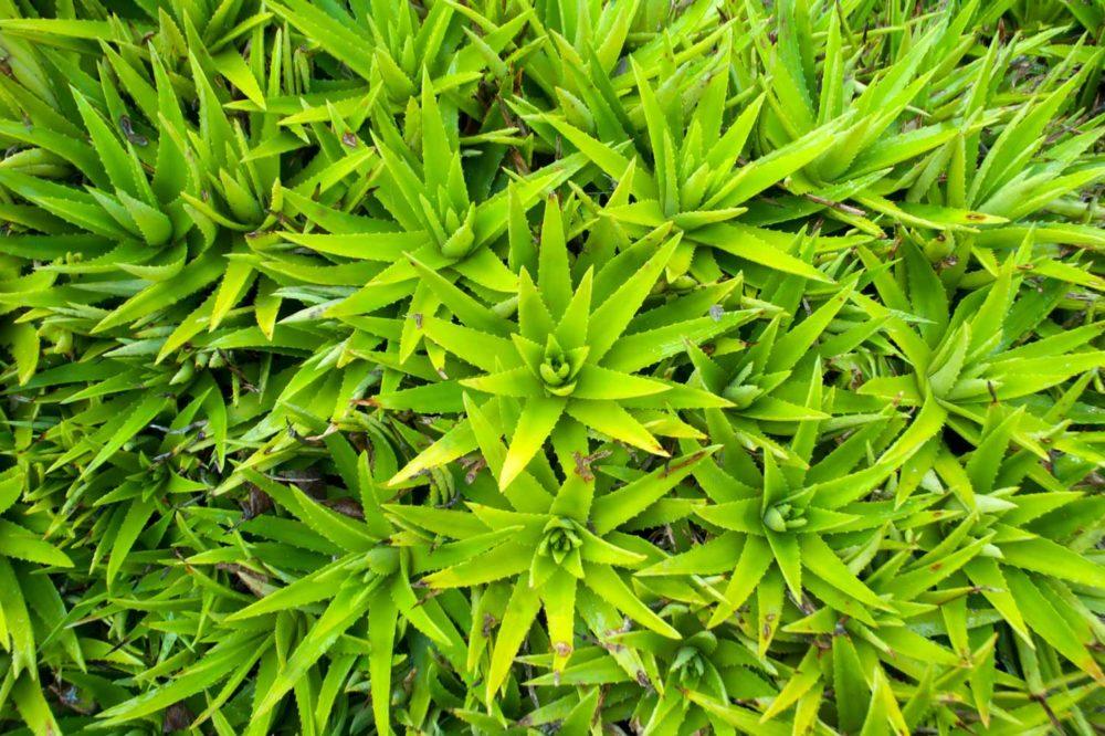 Aloe vera biocoop